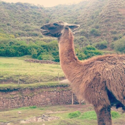 Llama in cuzco Mountains. These animals are amazing.