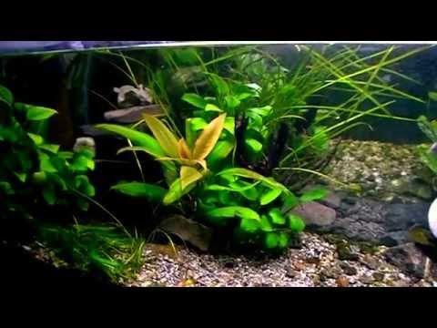 Aquarium. Tropical plant. Hygrophila corymbosa.