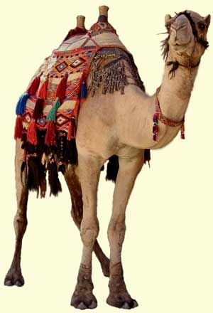 Arabian camel saddles are often adorned with brilliant colors. Saddle bags fringed with tassels are hung down each side of the camel and can be used for transporting goods and personal possessions. On some occasions the camel may be decorated with necklaces, chest bands, knee covers, a fanny pack over the hind quarters and drapes hung from their camel's shoulders.