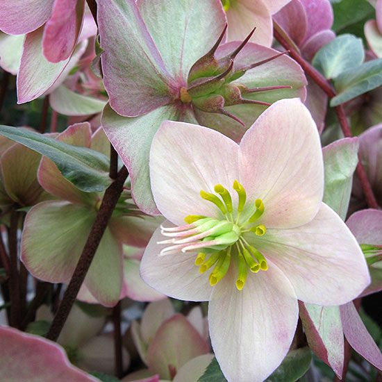 Blooming from February to April, 'Shooting Star' hellebore develops masses of creamy-white flowers with pink reverses. As each bloom matures it becomes slightly pinker, so over time individual plants will carry a bouquet of different shades. 'Shooting Star' also has red stems and dark evergreen foliage. Like other hellebores, it's deer- resistant and reliably hardy. Name: Helleborus x ericsmithii 'Shooting Star' Growing Conditions: Shade, Partial shade Size: 18–22 inches tall, 20–24 inches…