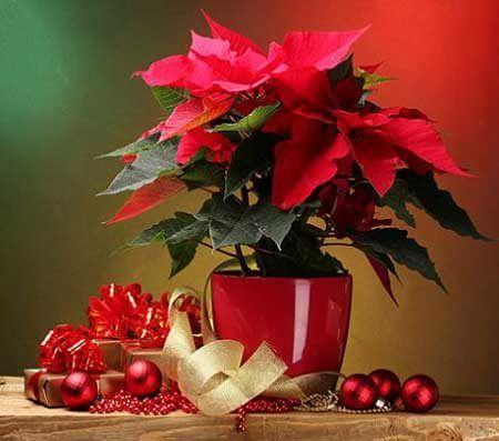 """Ideas para decorar en navidad con la """"Flor de pascua"""" o """"Flor de navidad""""."""