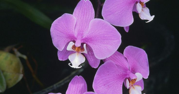 ¿Una orquídea tiene que estar bajo la luz del sol?. Las orquídeas, como todas las plantas, necesitan luz para sobrevivir. Esta luz puede ser luz solar o artificial. Las orquídeas deben recibir la intensidad y la cantidad correcta de luz, la cantidad exacta depende del tipo de orquídea. Hay muchos tipos de orquídeas, y se pueden encontrar en una amplia gama de Zonas de Resistencia de la USDA (4 a ...