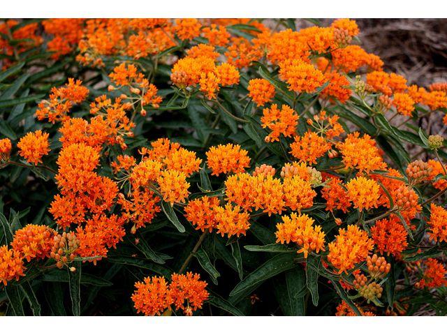 Orange Milkweed - Attracts Monarch butterflies (just like every other kind of milkweed)