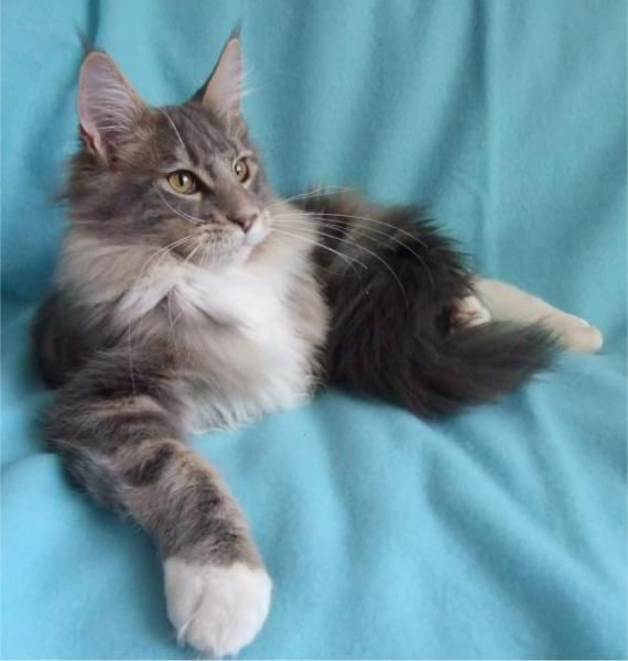 Maine Coon Cat  ~