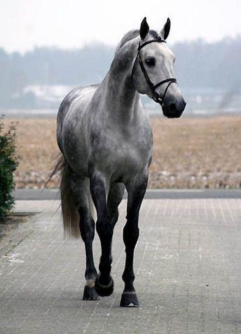 If I ever owned my own horse, I'd love an Oldenburg>>>Oldenburg stallion - Equus Magnus