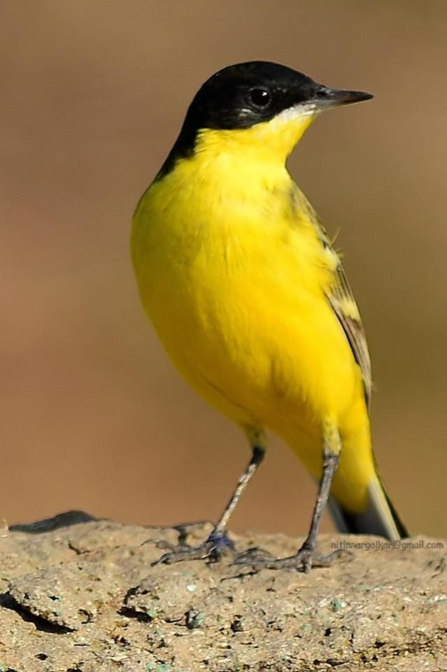 Black headed yellow Wagtail.