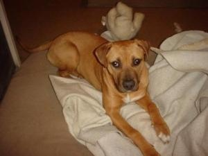 Gracie is an adoptable Rhodesian Ridgeback Dog in Bellevue, MI. Gracie is about 18 months old, has been at wags for about 10 months and has totally accepted all the dogs here as her family. She has id...