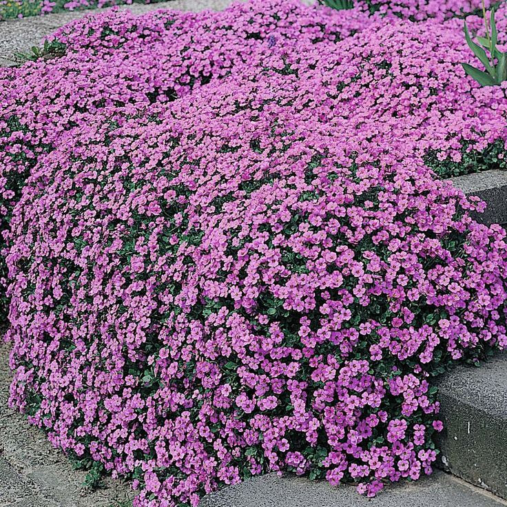 Aubrieta Purple Cascade F1 Hybrid Aubretia HardyPerennial An excellent strain almost smothered in flowers in rich purple shades. Excellent for a bold spring display. Suitable for rockeries, walls, borders, edging paths, planters, window boxes etc. Flowers early spring. Spread 30-38cm (12-15in).  Flowering Period:March, April, May Sowing Months:February, March, April, May, June Position:full sun