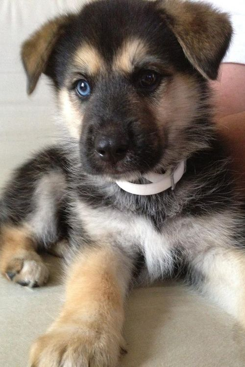 German shepherd puppies mix