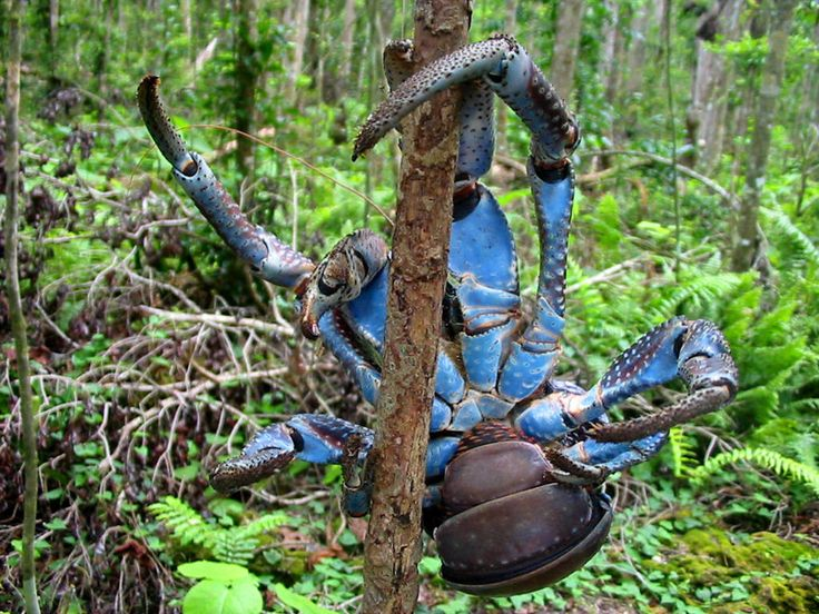 The coconut crab, Birgus latro, is a species of terrestrial hermit crab, also known as the robber crab or palm thief. It is the largest land-living arthropod in the world, and is probably at the upper size limit of terrestrial animals with exoskeletons in today's atmosphere at a weight of up to 4.1 kg (9.0 lb).