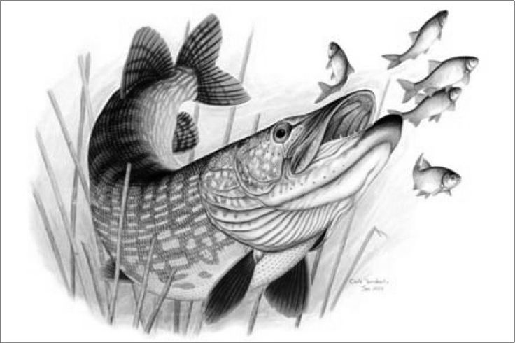 from http www total fishing com files totalfishing assets images fish ...