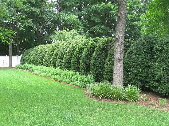 emerald arborvitae fence