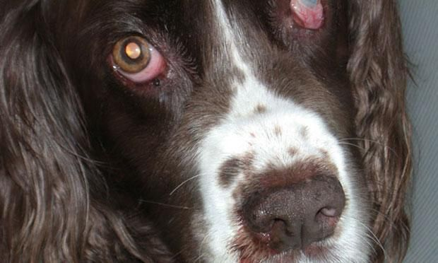 A 12-year-old spayed female English springer spaniel was presented for nasal discharge and intermittent epistaxis.