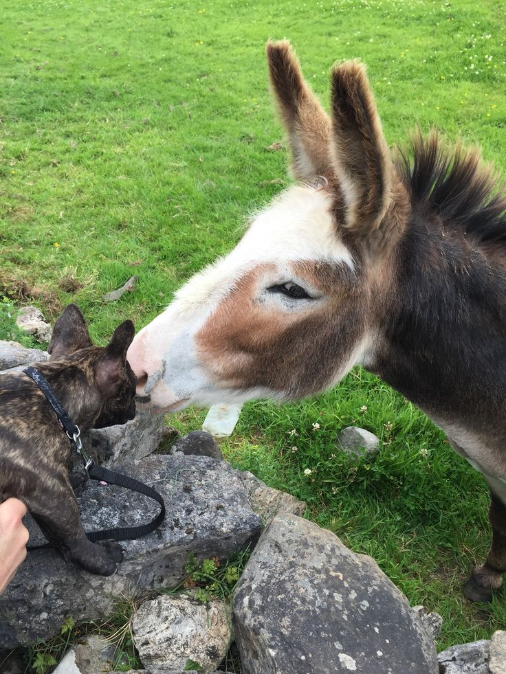 French bulldog and her first love donkey