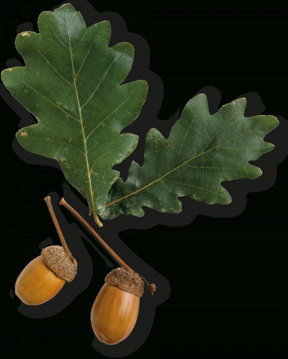 10 Florida Oak Tree Leaf Png Tree Leaves Oak Tree Oak