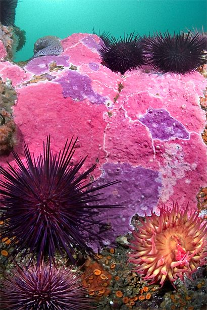 Encrusting hydrocoral (Stylantheca porphyra), red sea urchins (Strongylocentrotus franciscanus), and a white-spotted anemone (Urticina lofotensis).