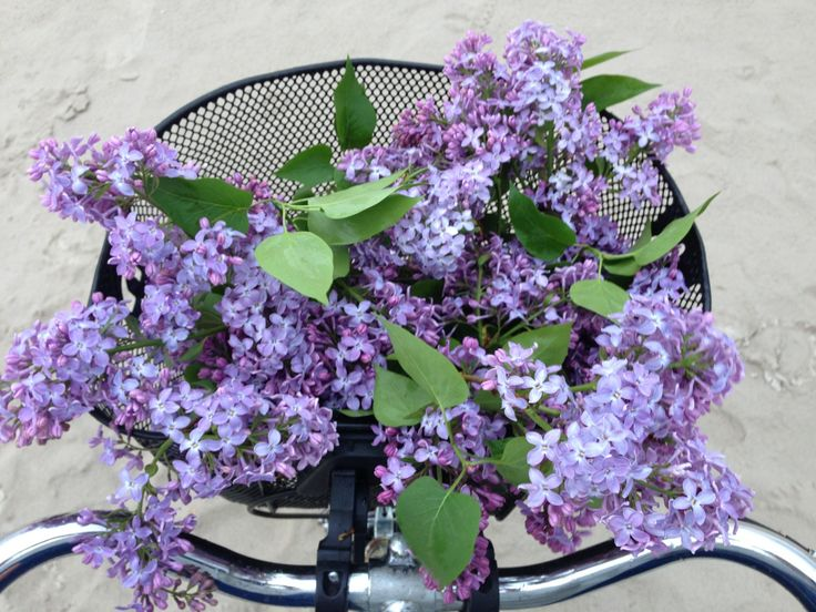 A bicycle basket of beautiful purple lilacs.