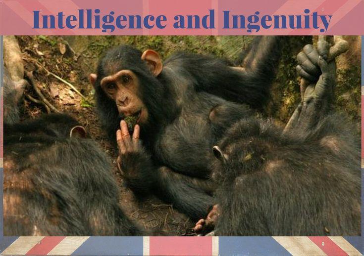 Forse non ci rendiamo conto quanto siano intelligenti gli scimpanzé. Cosa faresti tu se l'unica acqua disponibile si trovasse in fondo ad un'albero? Non hai un cucchaio o mestolo, sei nella giungla.  Maybe we are not truly aware of how intelligent chimpanzees are When you need to drink but the only water around is at the bottom of