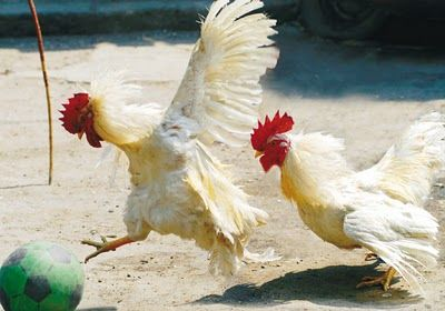 Chickens getting bored? Long list of activities to keep your cluckers happy!