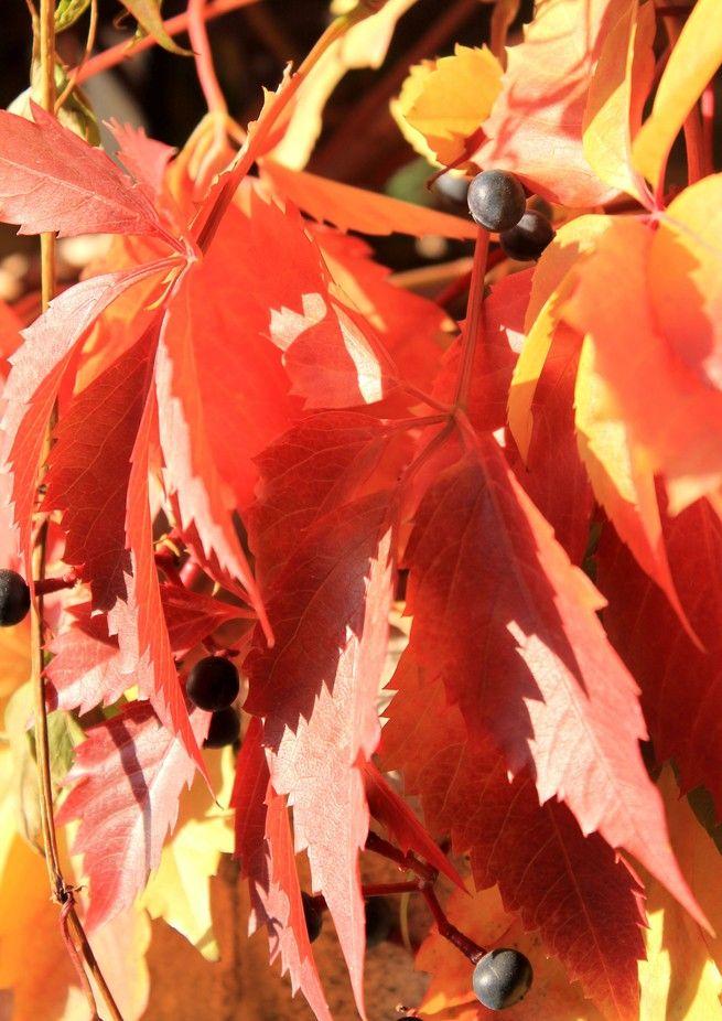 Sunlit Autumn Grape Vine
