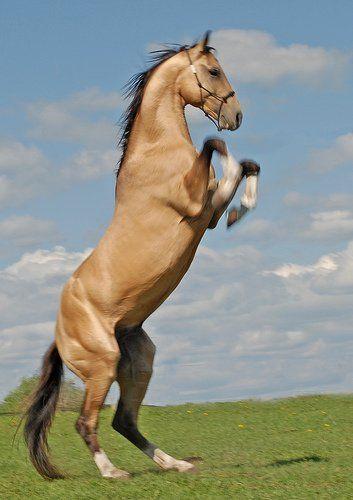 "Previous pinner wrote, ""Meet the rarest horse on earth. The Akhal Teke."""