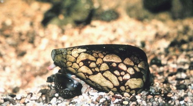 The Marbled Cone Snail is found in the warm and temperate waters of western pacific ocean, Bay of Bengal and Indian Ocean.  It is the most venomous of all types of Cone Snail and can kill a grown man with the amount of venom it has in it.