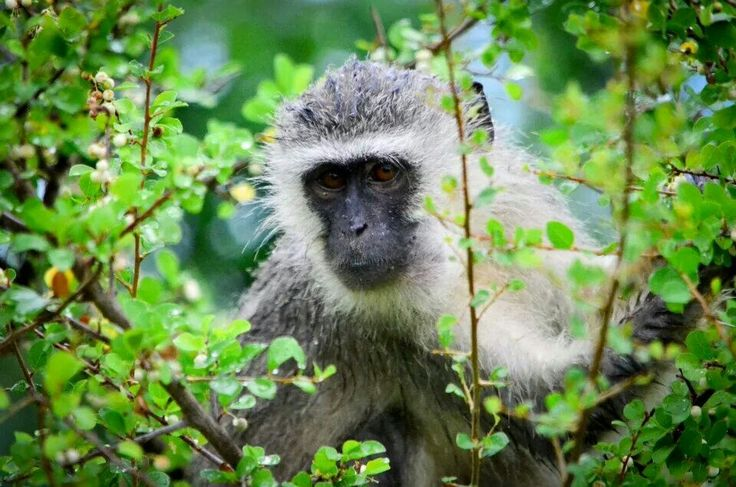 Wet monkey on a rainy day in Kruger Park.