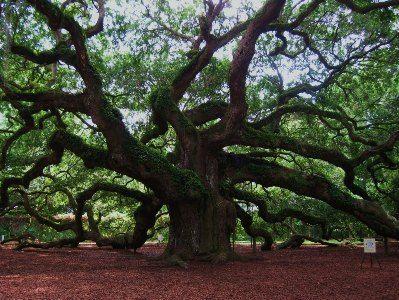 Ангельский дуб