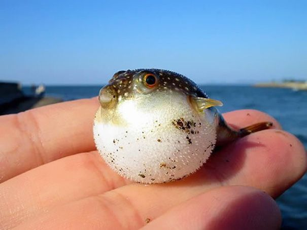 Puffer Fish...I've caught only one in my life time; it was a little bigger than this.  In NY we called them Blowfish.  You touch them and they blow up quick; give it a sec and it deflates, and you can do it again.  My son would wear it out.