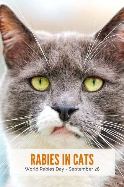 Each year over 50,000 people are infected with rabies worldwide. We discuss the signs of rabies infection in cats, and the importance of vaccination   Rabies Infection in Cats - World Rabies Day