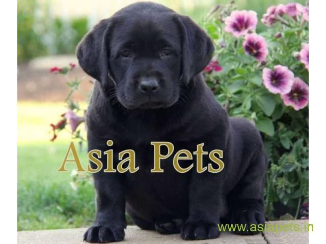 Labrador Puppy For Sale Best Price In Delhi With Images Black