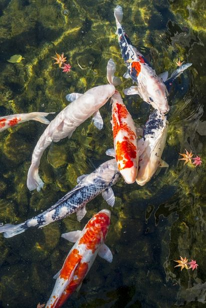 25 best ideas about koi on pinterest koi painting for Carpe koi reproduction