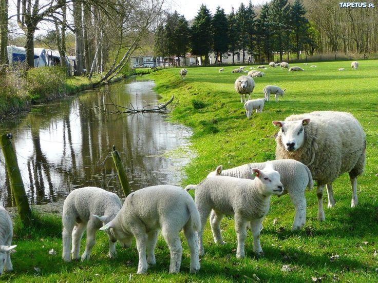 http://puszystaowca.pl/wypas-owiec/