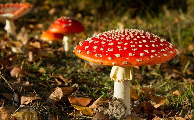 Amanita muscaria, o cogumelo alucinógeno