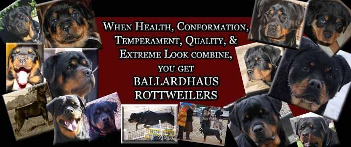 Ballardhaus Rottweilers Rottweiler Breeders Rottweiler Puppies German Rottweilers For Rottweiler Puppies For Sale Rottweiler Breeders Rottweiler Puppies