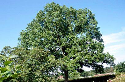 Juglans nigra - black walnut (week 1)