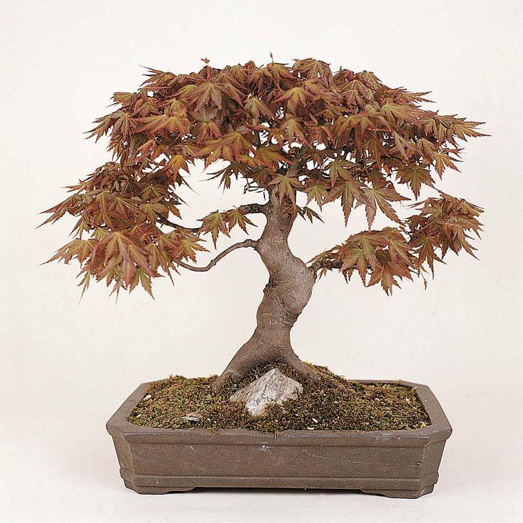 Best 25 types of bonsai trees ideas on pinterest bonsai for Bonsai tree pics