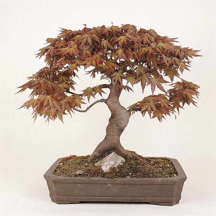 bonsai trees | Flowers All Other Seeds & Plants Trees Bonsai Trees (Mixed)