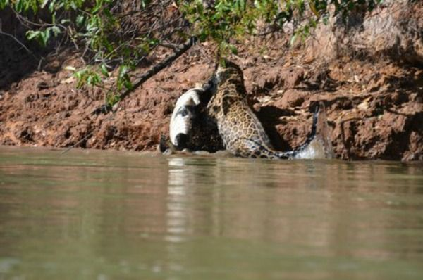 Jaguar Snags A Crocodile For Lunch - Neatorama