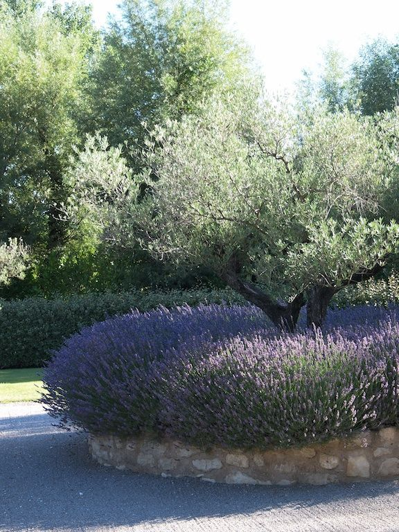 This olive tree underplanted with lavender in a raised bed of stone makes a…