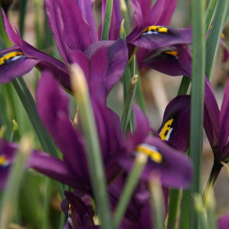 Lägger mig på marken och dyker in i Iris-snåret.  #wexthuset  #vackragömmor #iris #vårkänslor #vårblommor #minträdgård #iminträdgård #lila #gardenlife #svenskträdgård #lantliv #färgiträdgården