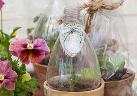 Soda bottles to keep plants warm and humid.
