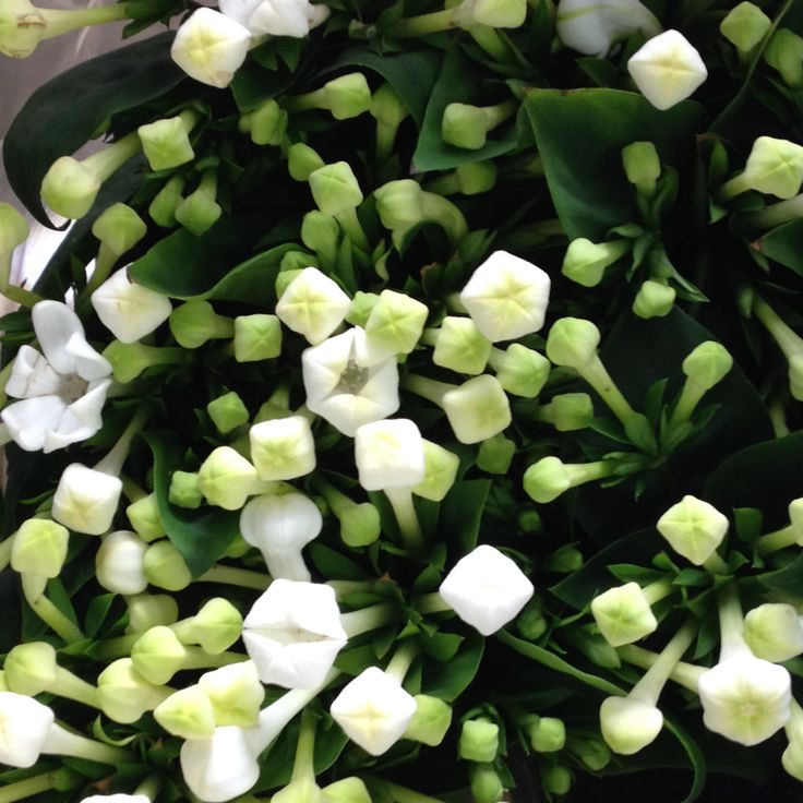 Bouvardia in white.Sold in bunches of 10 stems from The Flowermonger, the wholesale floral home delivery service