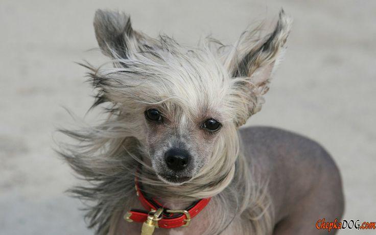 Chinese dog breed photo