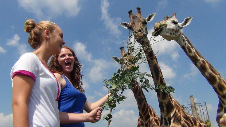 Hand Feed Giraffe #africanlionsafari #behindthescenes #giraffe