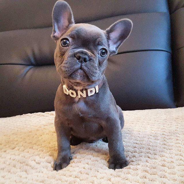 Baby Dondi  @dondiblue . . . #frenchie #frenchieoftheday…