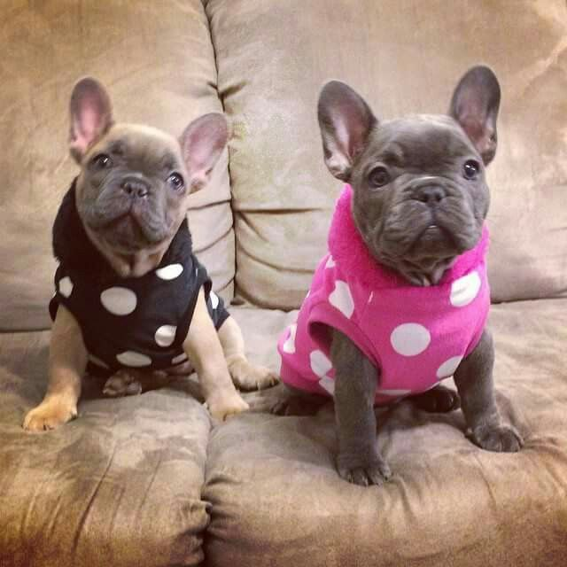 french bulldog utah 27 best images about fowers frenchies on pinterest blue 3717