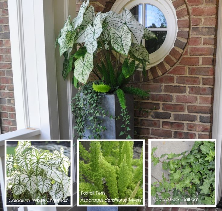 High Impact Container Gardens Asparagus fern, Container