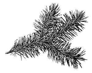 Picea sitchensis, 19460  U.S.D.A. Forest Service, courtesy of Hunt Institute