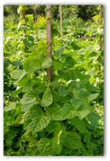 Growing Green Beans. Use wooden rod (stand alone trellis) per plant. Probably cheaper than plastic containers.